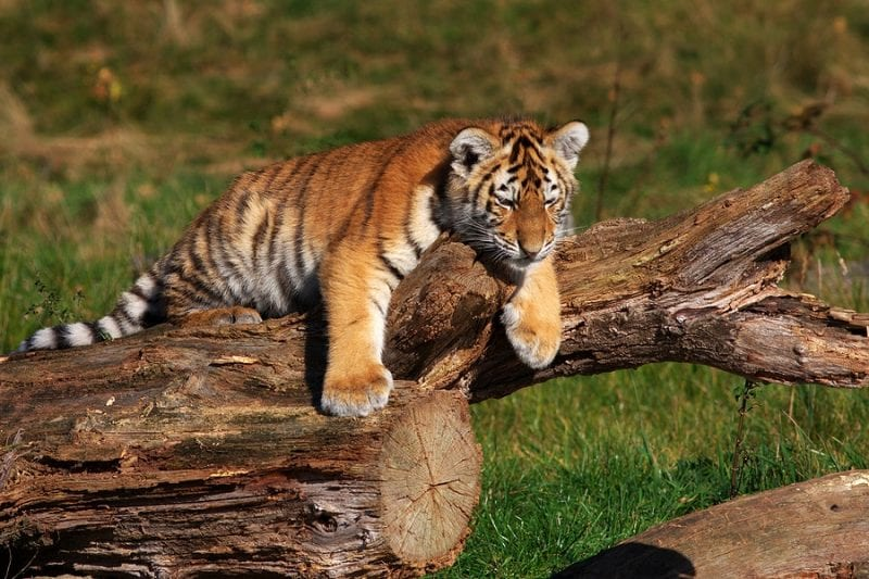 Jeffrey Lowe and Tiger King LLC Ordered to Relinquish Big Cat Cubs